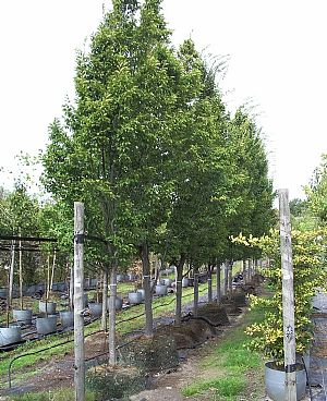 plantning af træer
