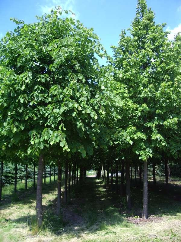 høje træer til haven