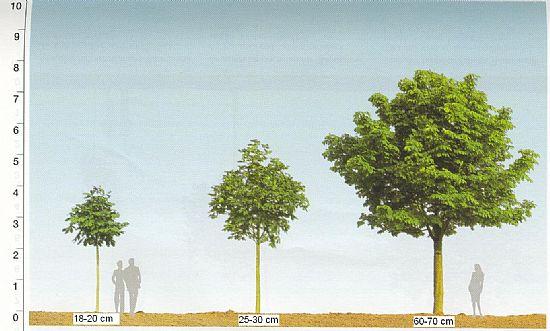 Træer, store træer, træ, plantning af træer, træplantning,trækonsulent,havearkitekt,stangsakse,