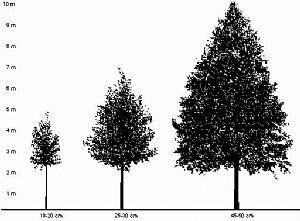 Omkredsen indikere hvor gammelt træet er og udfra det fastsættes