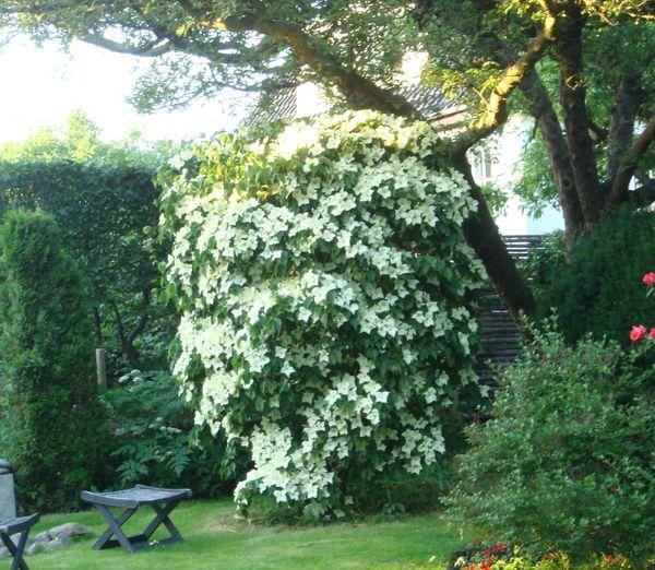 japansk kornel træ