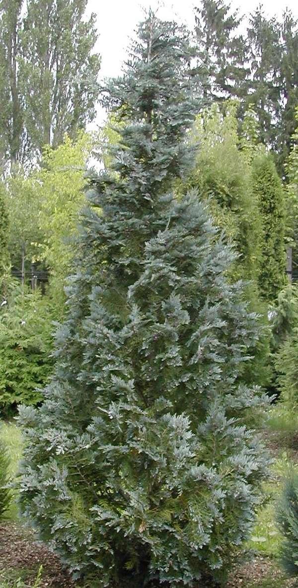 cypres træ