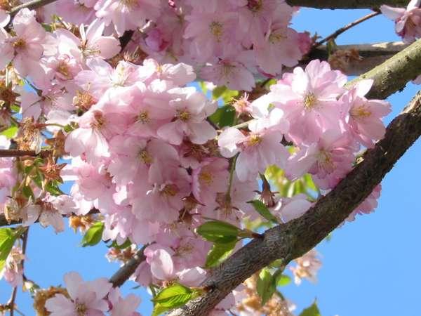 plantning af japansk kirsebærtræ